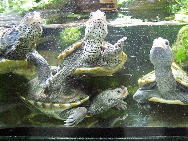 Diamantschildkröte