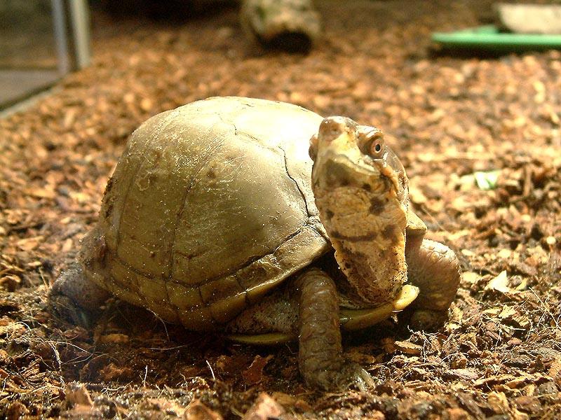Dreizehen Dosenschildkröte