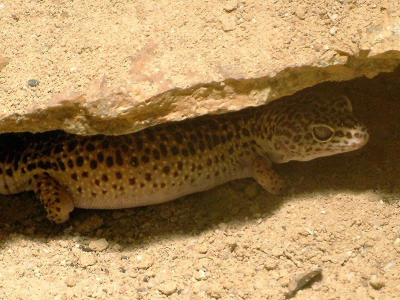 Reptilienhaus Jonsdorf Leopardgecko2