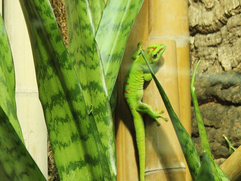 Reptilienhaus Jonsdorf Madagaskar Taggecko