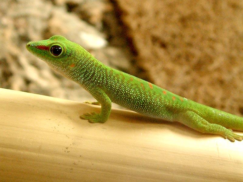 Madagaskar Taggecke