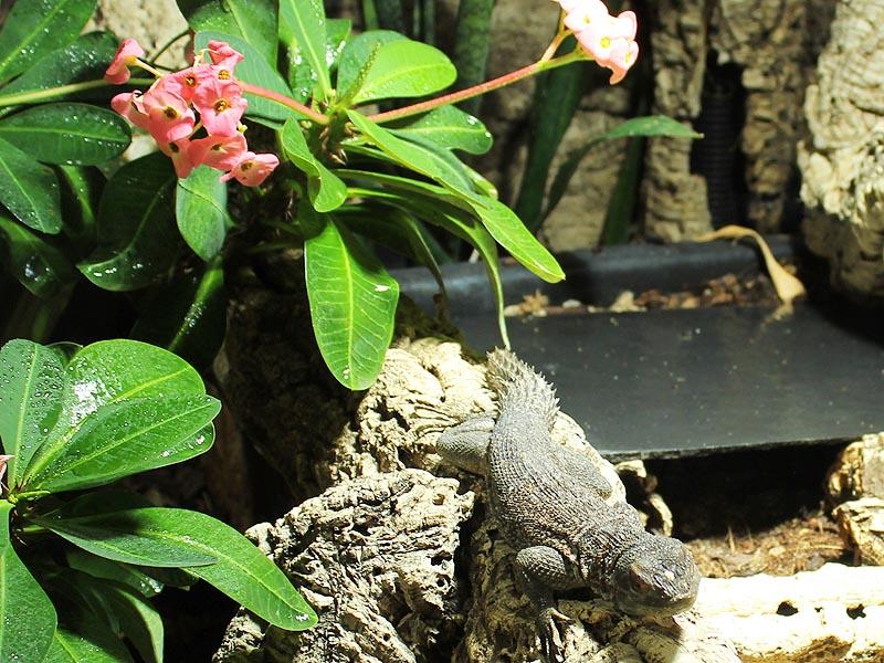 Reptilienhaus Jonsdorf Madagaskarleguan