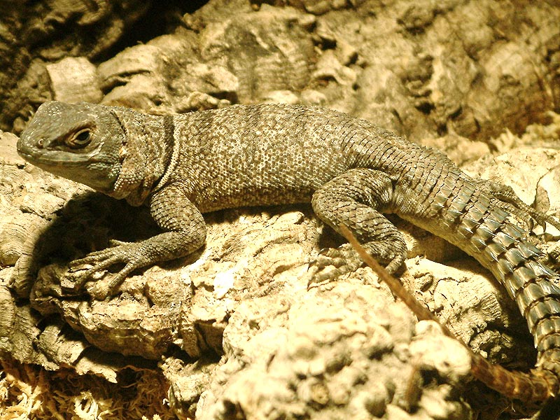 Reptilienhaus Jonsdorf Madagaskarleguan3