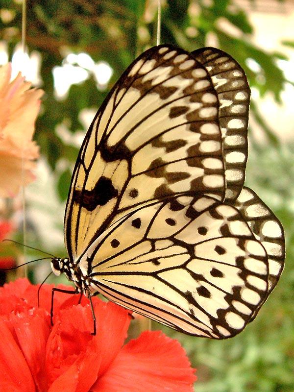 Schmetterlingshaus Jonsdorf Sachsen Baumnymphe2