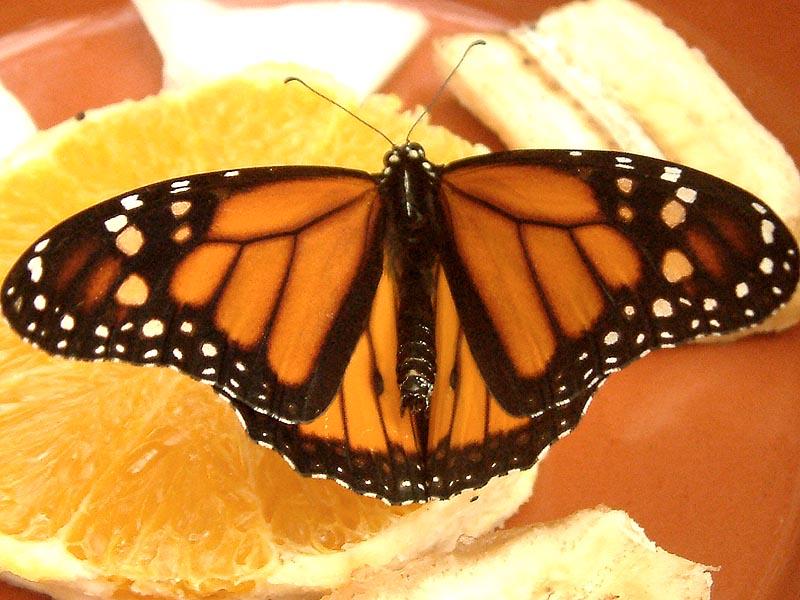 Schmetterlingshaus Jonsdorf Sachsen Der Monarch
