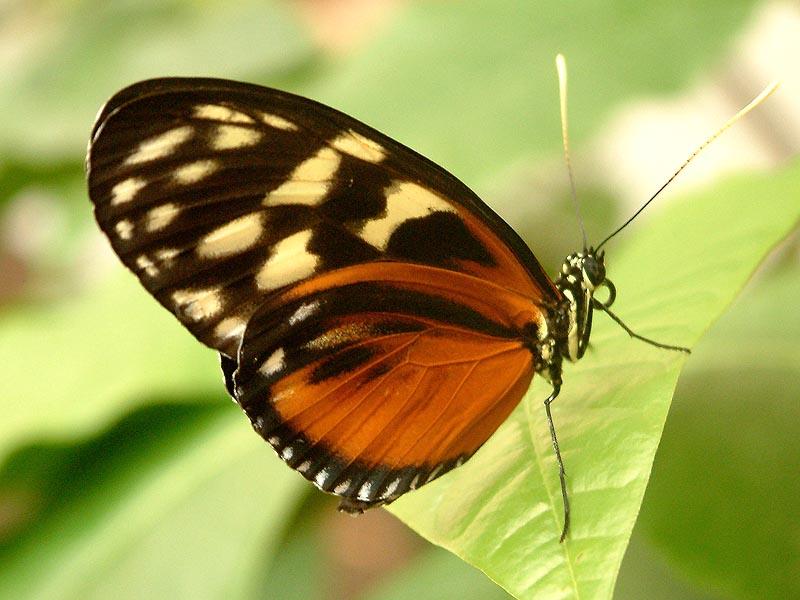 Schmetterlingshaus Jonsdorf Sachsen Hekale