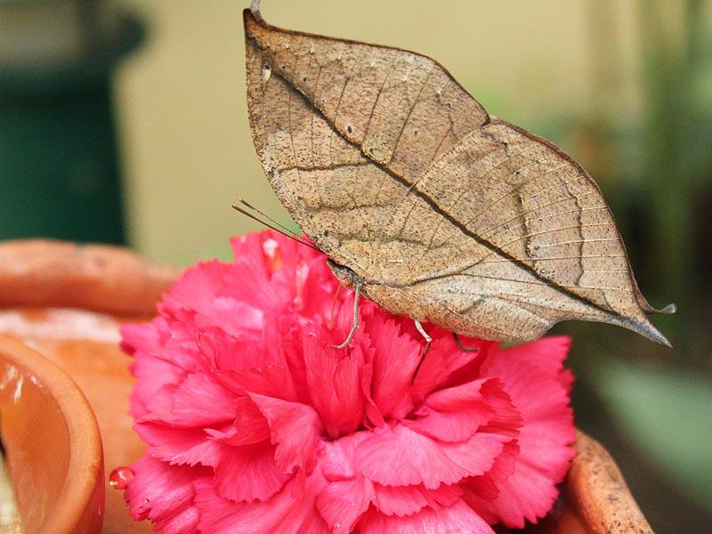 Schmetterlingshaus Jonsdorf Sachsen Indisches Blatt
