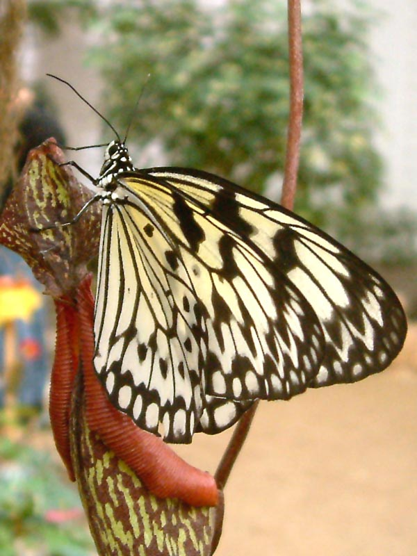 Schmetterlingshaus Jonsorf Sachsen 12
