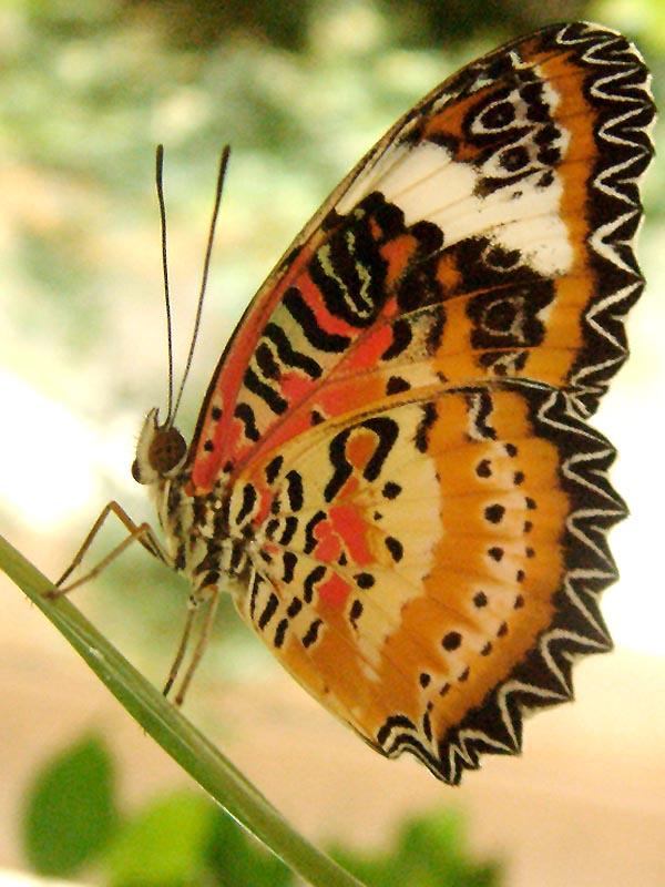 Schmetterlingshaus Jonsorf Sachsen Leopard